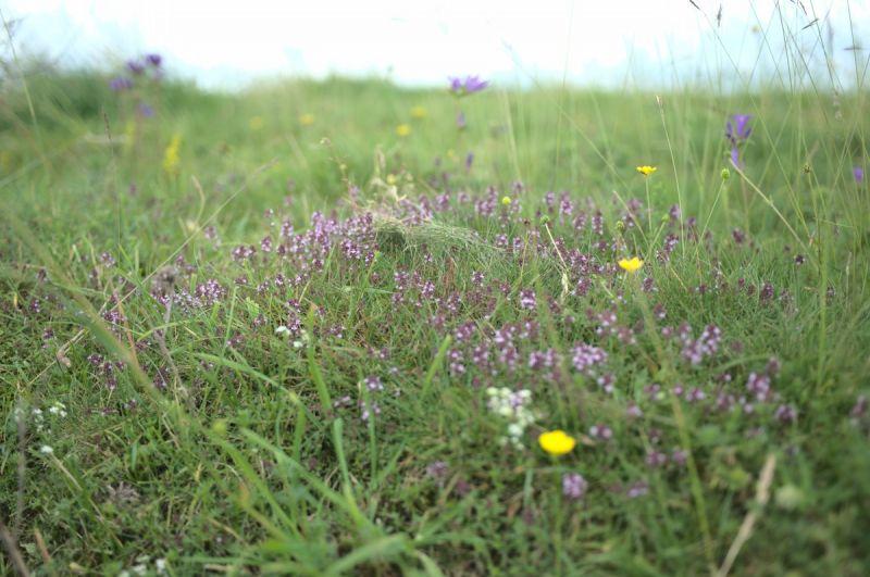 Photo de plantes (thym) prise sur le plateau de Trizac. CC-BY-SA RAPATON